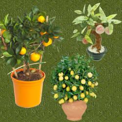 Arboles frutales en macetas de diferentes especies for Arboles frutales en maceta