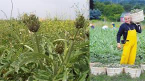 plantacion de alcachofas