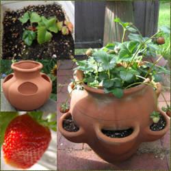 cultivo fresas en maceta