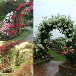 Rosas de jardin laurel de jardin enano arbusto perenne de - Arbustos enanos para jardin ...