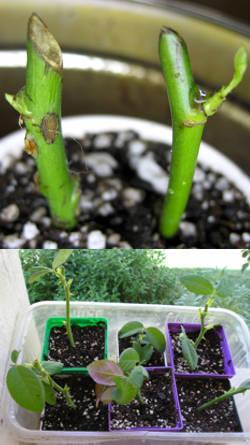 Reproduccion asexual de las plantas esquejes de rosas