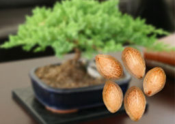germinacion-de-semillas-bonsai