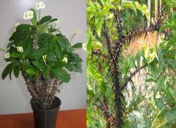Plantas De Sombra Con Espinas Para Interior Y Exterior - Plantas-exterior-sombra