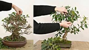 Poda De Bonsai Ficus Consejos De Corte