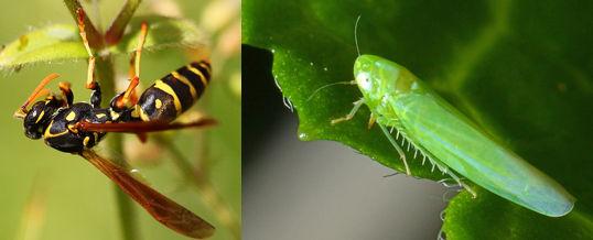 eliminar el mosquito verde