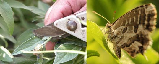 eliminar la mariposa del geranio