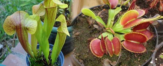macetas para plantas carnivoras
