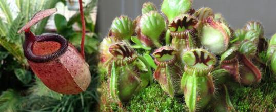 necesidades de luz de las plantas carnivoras