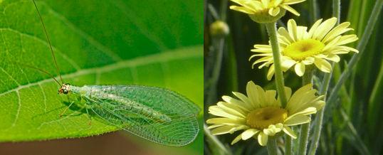atraer crisopas verdes a nuestro jarídn