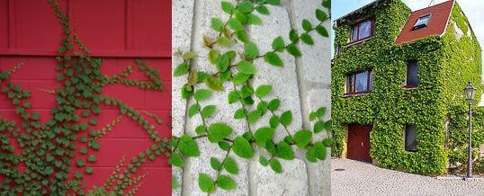 consejos para plantar enredaderas