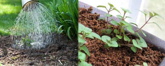 cuidar una planta de orégano