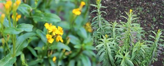 cultivar estragon
