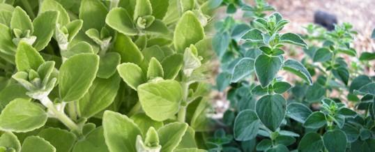 cultivar oregano