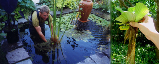mantener plantas acuáticas