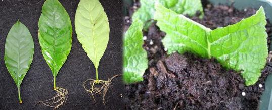 reproducir plantas por sus hojas