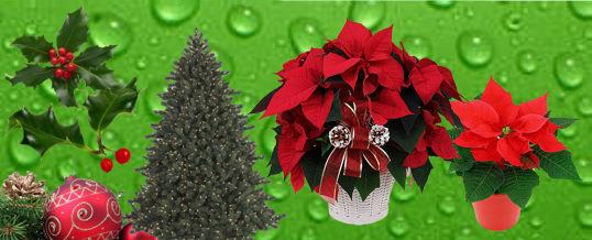 plantas para regalar en navidad