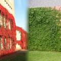 plantas trepadoras decorativas