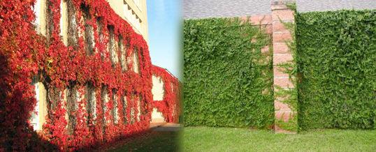 Las diferentes plantas trepadoras decorativas for Banderas decorativas para el jardin